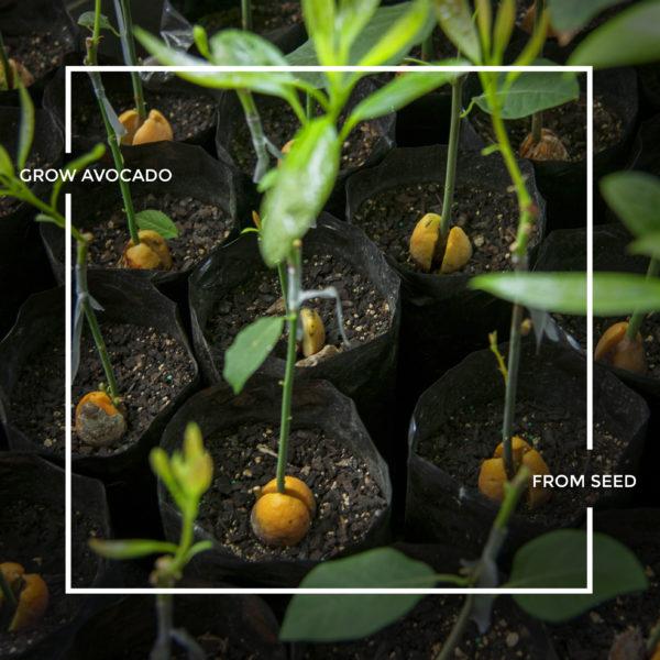 How to grow an avocado tree from an avocado seed !